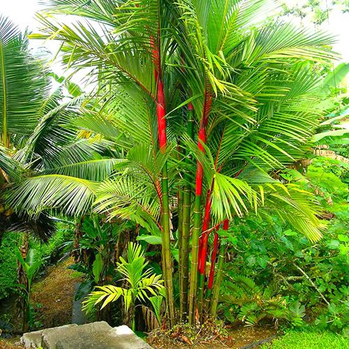 بذر نخل موم سرخ