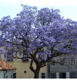 بذر درخت پالونیا