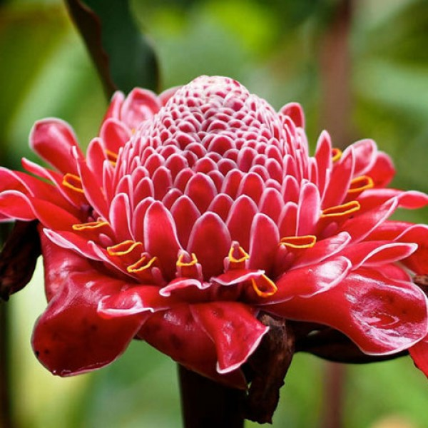 بذر گل زنجبیلی قرمز