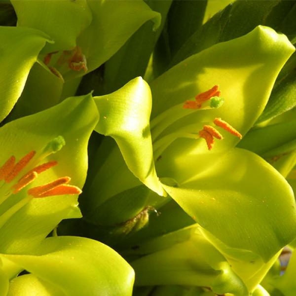 بذر گل پویا سبز