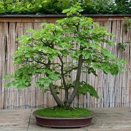 بذر درخت تیلیا