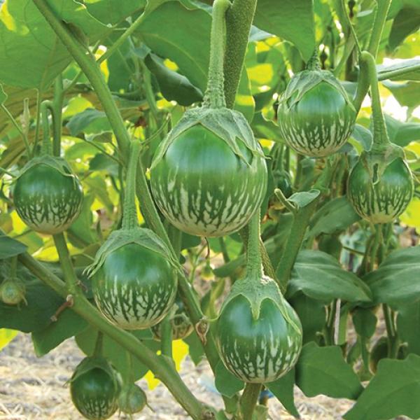 بذر بادمجان سبز آبلونگ