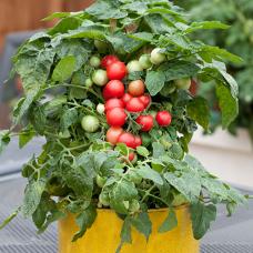 بذر گوجهفرنگی گیلاسی گلدانی