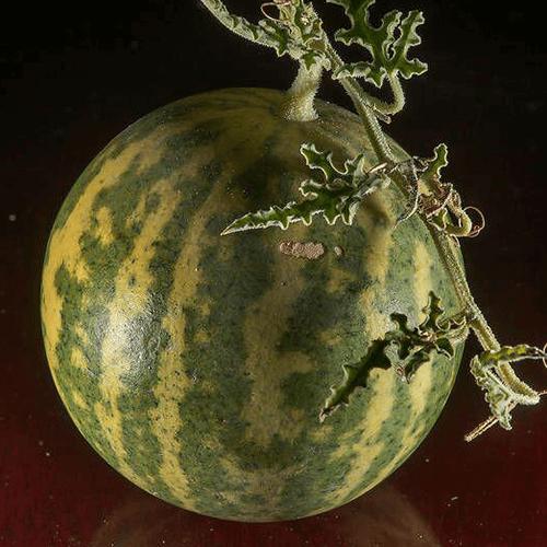 بذر هندوانه ابوجهل نیجریه