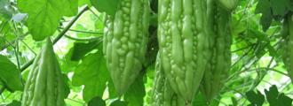 بذر بیتر ملون یا کارلا