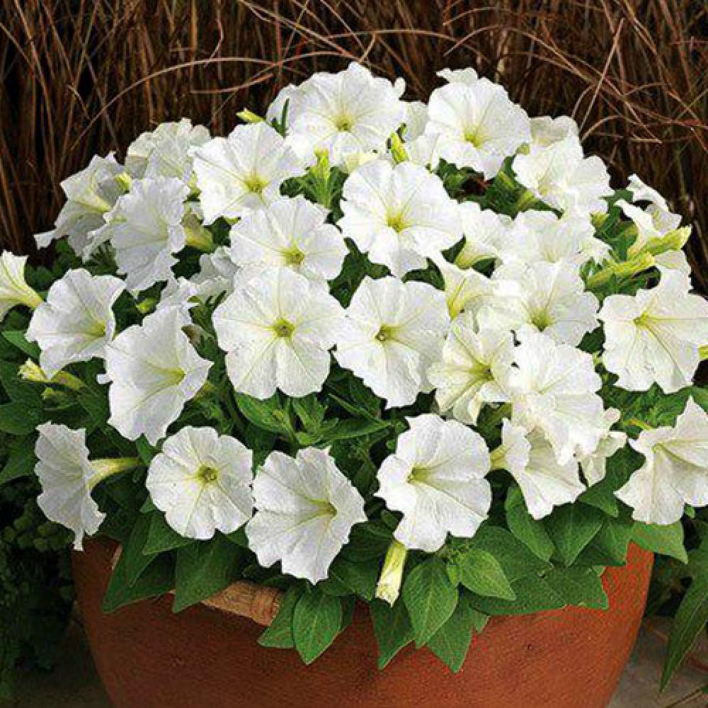 گل نیلوفر پیچ سفید