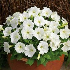 بذر گل نیلوفر پیچ سفید