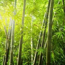 بذر درخت بامبو هندی