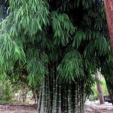بذر بامبو Dendrocalamus Strictus