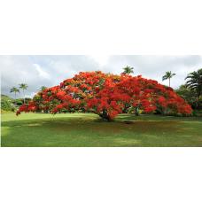 بذر درخت پینکیانا سلطنتی میکس