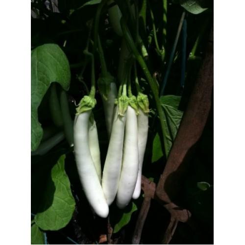 بذر بادمجان سفید مصری