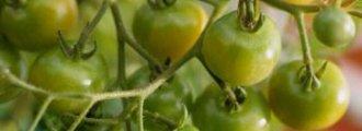 چگونه گوجه فرنگی بکاریم؟