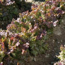 بذر کاهو بادبان قرمز