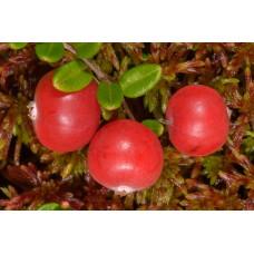 بذر کرنبری