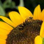 گیاهان دفع کننده زنبور عسل