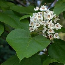بذر درخت گل کاتالپا