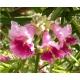 بذر درخت گل چیلوپسیس
