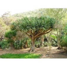 بذر درخت دراسنا دراکو