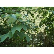 بذر درخت فیرمیانا