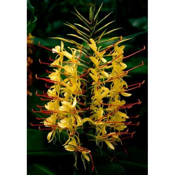 بذر گل لیلی کاهیلا