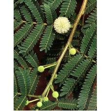 بذر درخت سوبابل