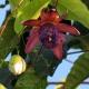بذر پشن فروت آمبیگوآ