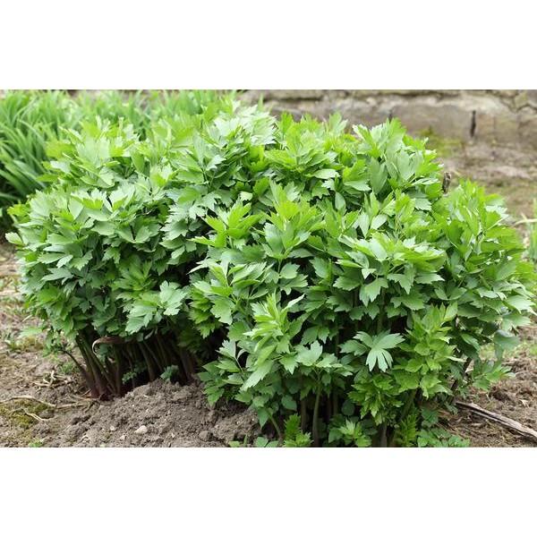بذر گیاه انجدان رومی