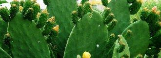 بذر کاکتوس اپونتیا