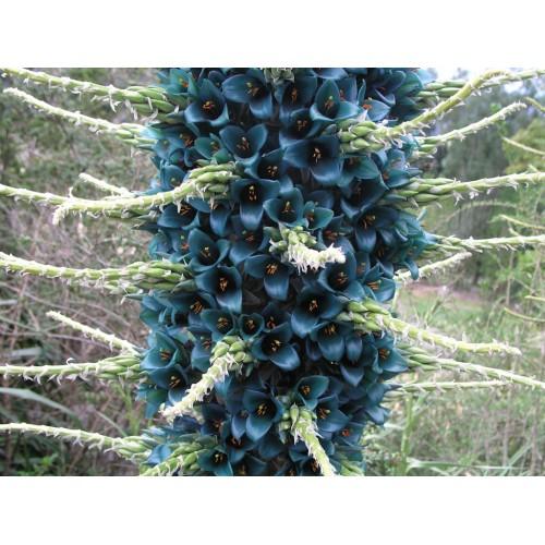 بذر گل پویا آبی