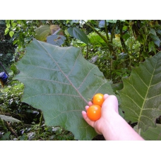 بذر میوه نارنجیلا