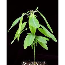 بذر گیاه تلگراف