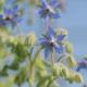 بذر گل گاوزبان