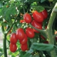 بذر گوجه فرنگی مروارید سرخ