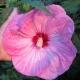 بذر گل ختمی غولپیکر صورتی