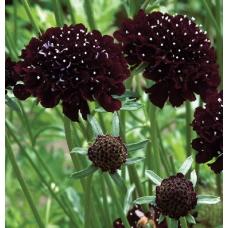 بذر گل طوسک شوالیه سیاه
