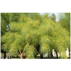 بذر درخت پارکینسونیا اکولاتا