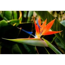بذر گل پرنده بهشتی