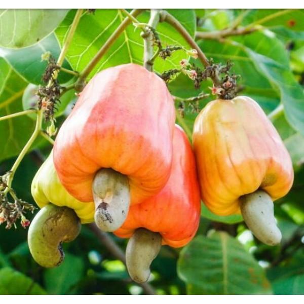 بذر بادام هندی