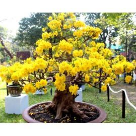 بذر درخت ساکورا ژاپنی زرد