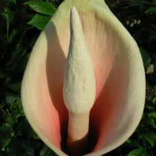 بذر آمورفوفالوس بولبیفر