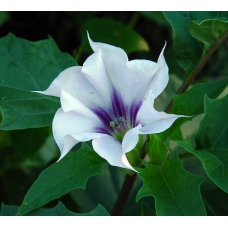 بذر گل بوقی جیمسون