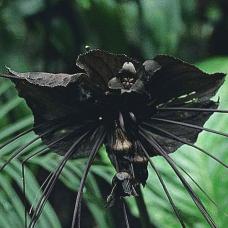 بذر گل خفاش سیاه