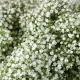 بذر گل جیپسوفیلا