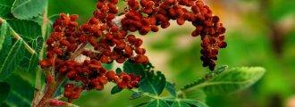 بذر گیاه سماق