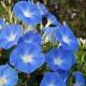 بذر گل نیلوفر پیچ آبی آسمانی