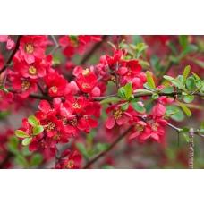 بذر درختچه به ژاپنی