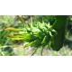 بذر میوه اژدها سبز