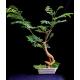 بذر درخت ابریشم مصری