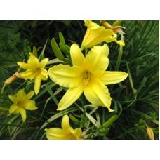 بذر گل همروکالیس