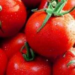 تولید گوجه فرنگی در فلوریدا با وجود تغییرات آب و هوایی